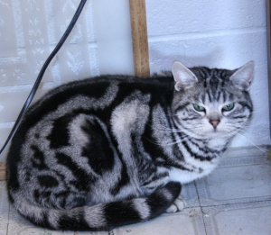 Image of American Shorthair silver tabby male crouched down on floor