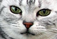 Image of silver faced American Shorthair Emerald green eyes