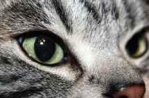 Close up image of American Shorthair silver tabbys Emerald green eyes side view