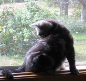 Silhouette image of American Shorthair silver tabby kitten sitting on wood windowsill