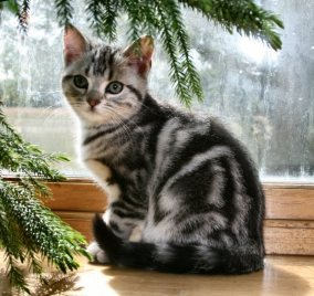 Image of American Shorthair classic silver tabby kitten sitting on wood windowsill in sun