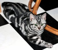 Image of American Shorthair classic silver tabby cat lying on Black White checkerboard floor