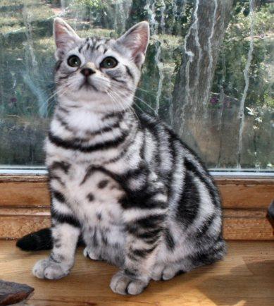 Image of American Shorthair silver tabby kitten sitting on wood windowsill 2011