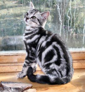 Image of American Shorthair silver tabby kitten sitting on wood windowsill showing bullseye pattern