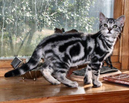 Image of silver tabby American Shorthair kitten showing bullseye pattern