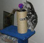 Image of Silver tabby American shorthair kittens on scratching post