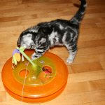 Image of gray American Shorthair kitten playing with cat toys