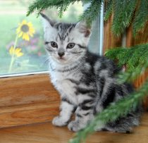 Image of silver tabby American Shorthair kitten in front of window with yellow flowers