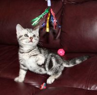 Image of silver tabby American Shorthair kitten on red leather couch playing with a sparkle toy