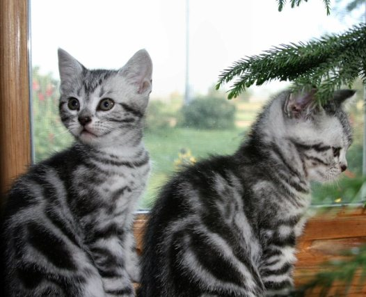 Image of two silver tabby American Shorthair kittens in front of window
