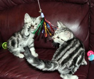 Image of two silver tabby American Shorthair kittens on red leather couch playing with sparkle toy