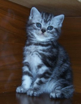 Image of fluffy silver tabby kitten