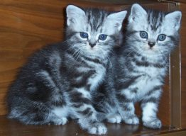Image of two gray silver tabby kittens sitting beside each other
