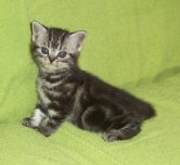 Image of left side and face of gray american shorthair silver tabby kitten