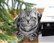 Image of American Shorthair classic silver tabby cat lying on wood floor under tree