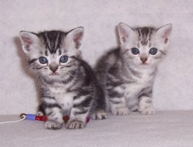 Image of two American Shorthair silver tabby kittens sitting on white blanket with cat toy