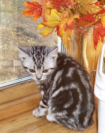 Image of American Shorthair silver tabby kitten sitting on wood windowsill with fall leaves