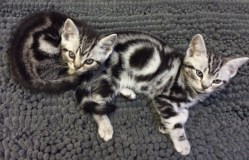 Image of two Amercian shorthair silver tabby kittens lying on nubby gray carpet