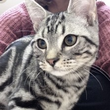 Close-up Image of American Shorthair Silver Tabby Male kitten