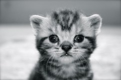 Black and white image of silver gray tabby American Shorthair kitten
