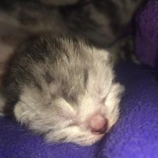 Image of Newborn American Shorthair silver tabby kitten