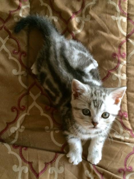Image of American Shorthair silver tabby kitten lying on gold bedspread