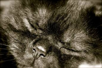 Image of American Shorthair black smoke kitten sleeping close up of face