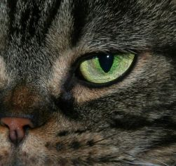 Close up Image of an American Shorthair Cats bright green Eye