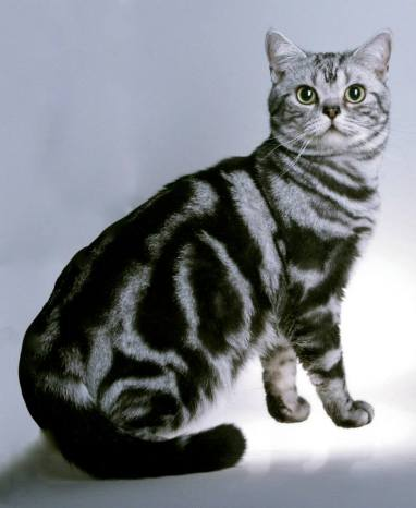 Image of American Shorthair classic silver tabby cat with large round green eyes facing right