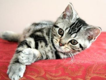 Image of silver tabby CFA american shorthair male kitten
