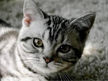 Image of the face of American Shorthair silver tabby kitten lying on carpet