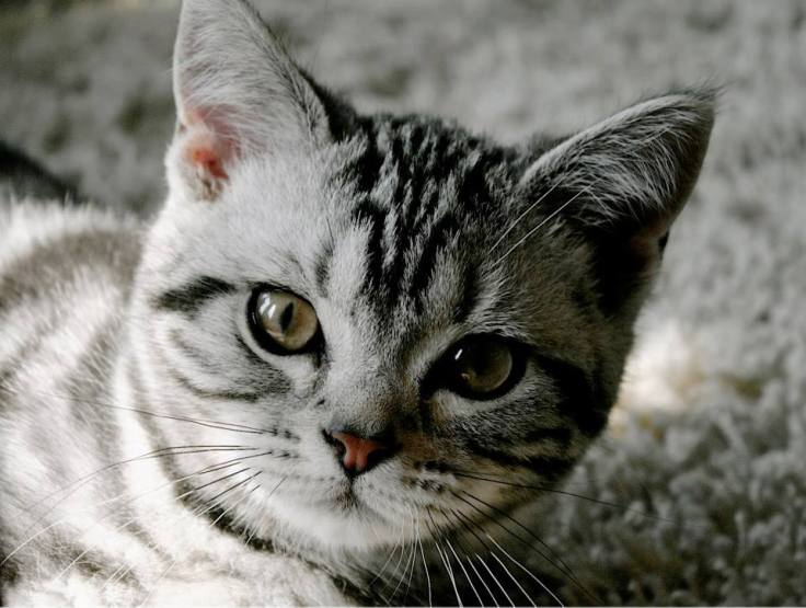 Image of the face of American Shorthair silver tabby kitten lying on carpet