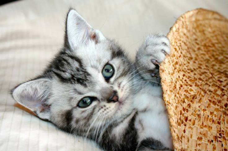 Image of American Shorthair silver tabby kitten peeking out from under cowboy hat