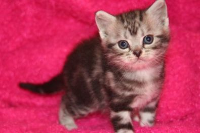 Image of American Shorthair silver tabby Kitten on pink backdrop