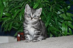 Image of American Shorthair silver tabby kitten sitting in front of house plant