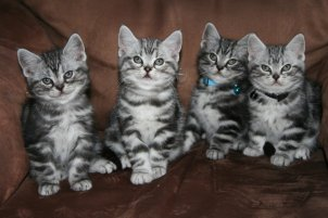 Image of four American Shorthair silver tabby kittens sitting on brown sofa