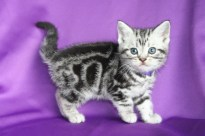 Image of silver tabby American Shorthair kitten with purple collar