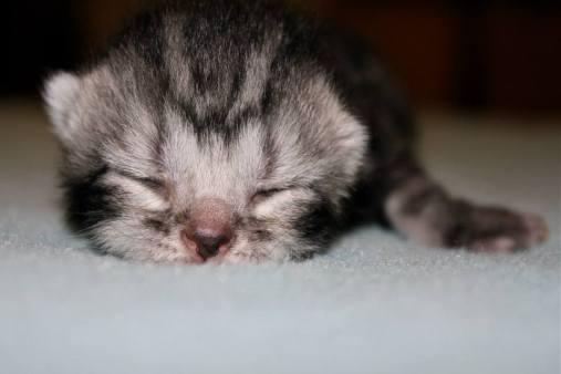 Image of Newborn gray silver tabby American Shorthair kitten face