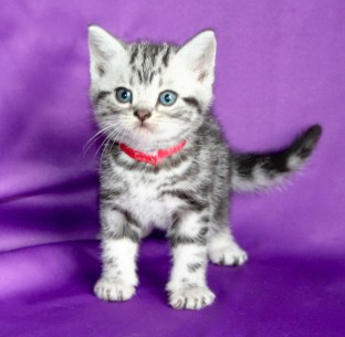 Image of 6 week old silver tabby American Shorthair kitten on purple background