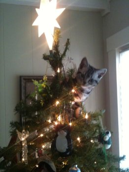 Image of American Shorthair Christmas Tree Kitten silver tabby
