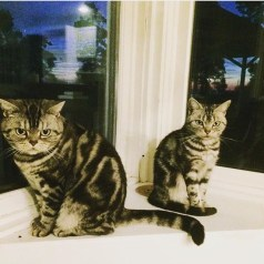 silver tabby American Shorthair cats sitting on windowsill at sunset