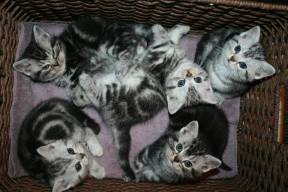 Image of Five American Shorthair silver tabby kittens in a basket