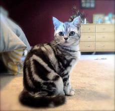 Image of beautiful American Shorthair classic silver tabby cat sitting in bedroom
