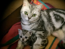 Image of mother american shorthair silver tabby cat and her 3 week old kitten