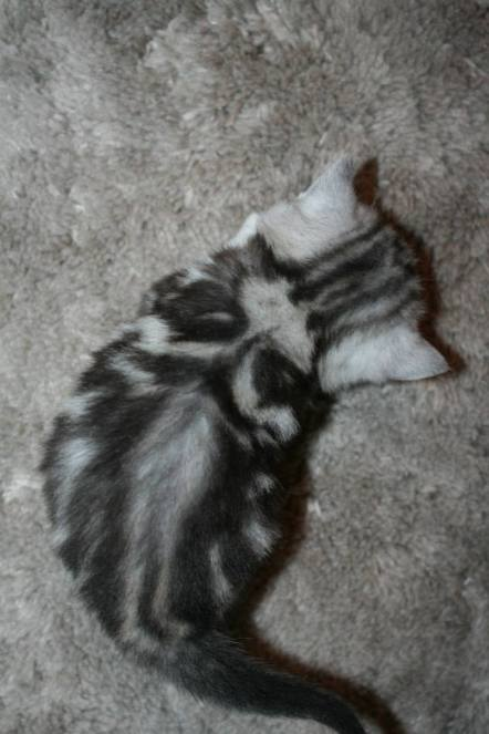 Image of top view image of Newborn American shorthair silver tabby kitten showing dorsal stripes and butterfly