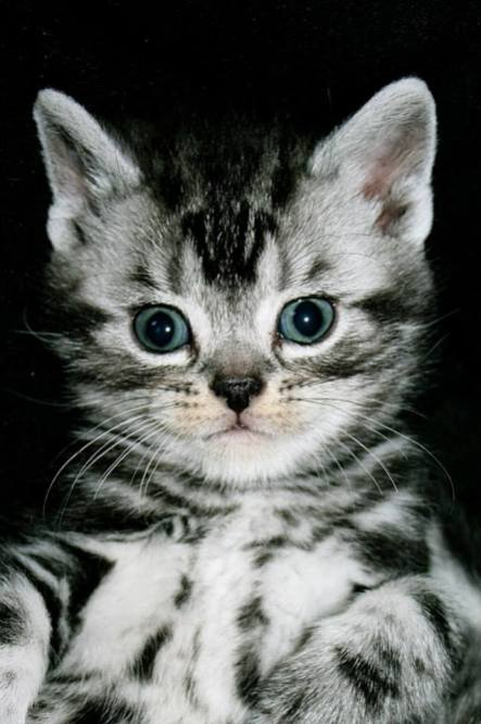Image of Face of American Shorthair silver tabby kitten on black background