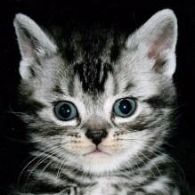 TC-S-Litter-Jun-2-2013-Face-of-American-Shorthair-silver-tabby-kitten-on-black-background
