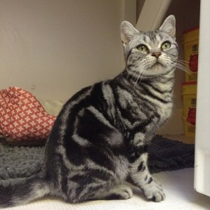 Image of American Shorthair Female classic silver tabby with emerald green eyes right side face