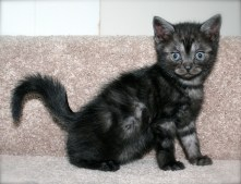Image of American Shorthair Black Smoke kitten