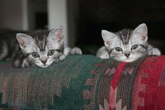 Image of two American Shorthair silver tabby kittens resting on couch